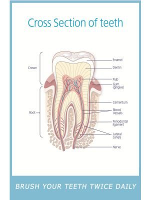 Poster English Cross Section of Teeth - 022